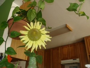 One of Many Sunflowers